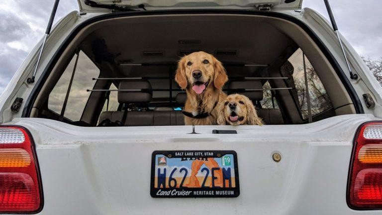 Mamă și pui de Golden Retriever bucurându-se de o plimbare cu mașina