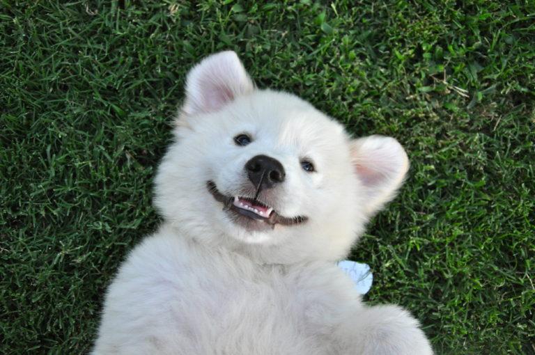 Cățeluș arătându-și dinții de lapte către aparatul de fotografiat