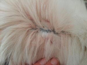 Fecale de purici descoperite in blana câinelui