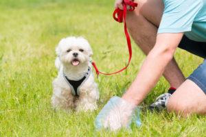 Stăpân responsabil ce strânge fecalele câinelui cu o pungă de plastic