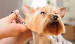 Yorkshire Terrier tuns acasă de către stăpânul său
