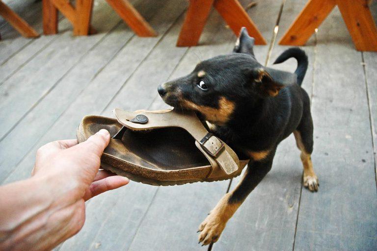 Câine agitat rozând papucul stăpânului