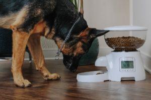 Ciobănesc german se bucură de o masă oferită de un hrănitor automat pentru câini