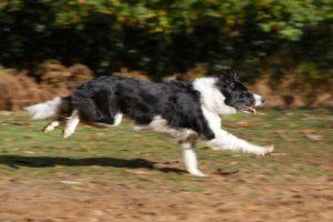 Border Collie surprins în alergare