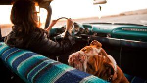 Acest bulldog englez suferă de rău de mașină