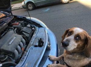 Câine atras de mirosului antigelului aflat sub capota mașinii stăpânului