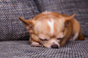 Chihuahua doarme liniștit pe canapea