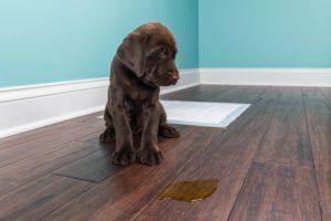 Acest pui de câine poate suferi de urinare excesivă