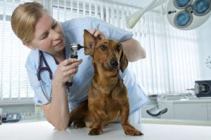 Acest câine a ajuns la veterinar din cauza mușcăturilor acarienilor