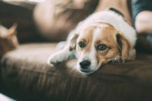 Câine afectat de prezența viermilor cardiaci