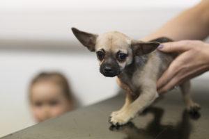 Chihuahua ajuns la veterinar din cauza gumei de mestecat