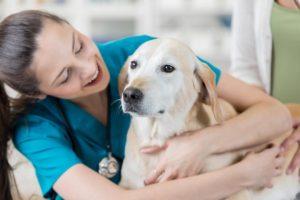 Labrador îngrijit de doctorul veterinar