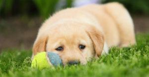 Pui de câine afectat de prezența viermilor cardiaci