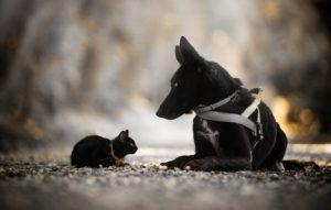Câine negru alături de o pisică neagră