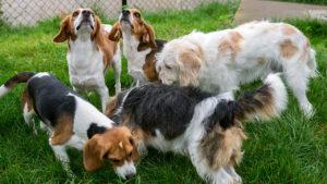 Terapia genică pentru câini ar putea ajuta oamenii cu distrofie musculară