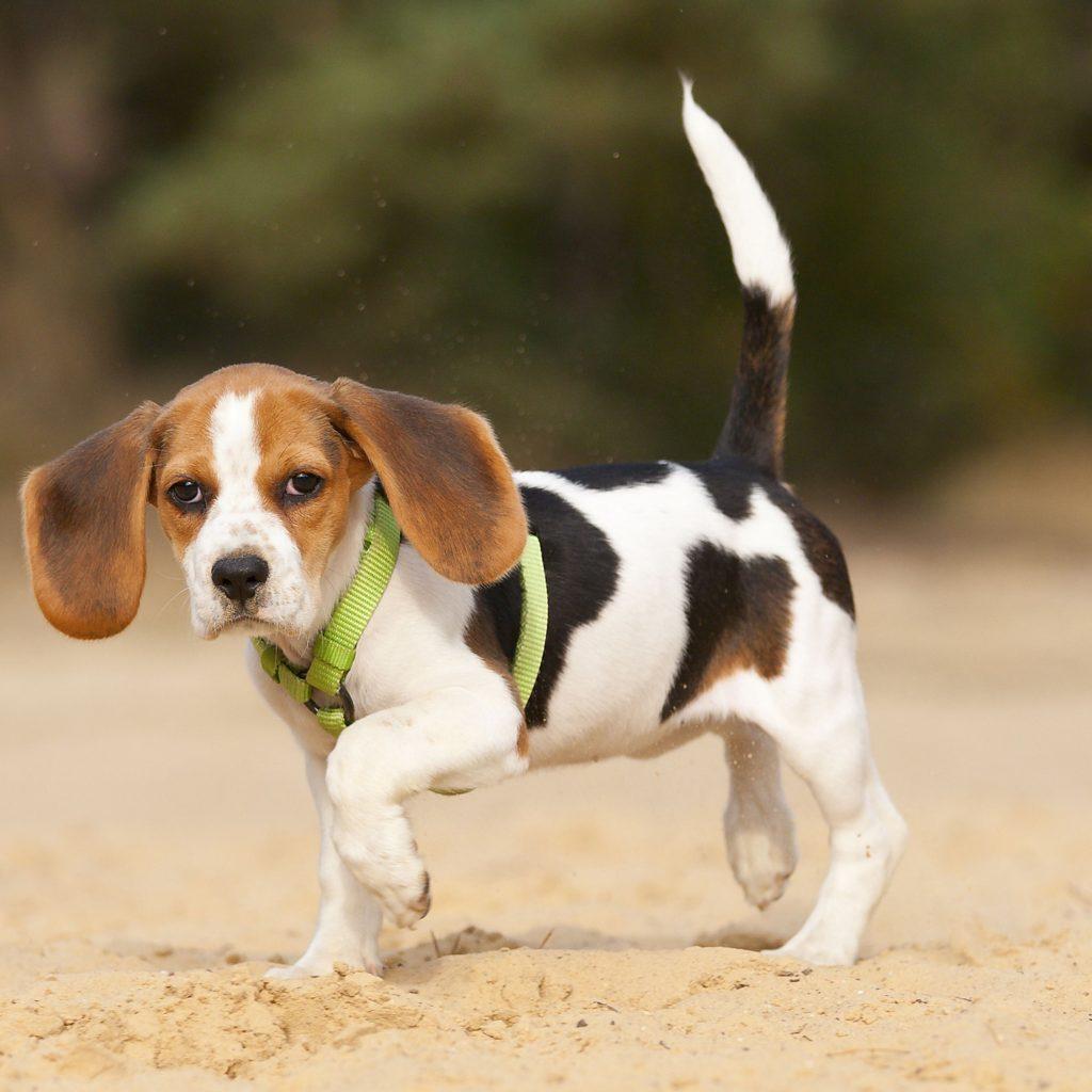Beagle cu coada în poziție verticală