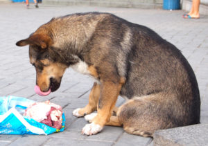 Câine maidanez așteaptă să mănânce carne de pui crudă