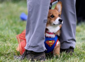 Câine Corgi costumat în Superman