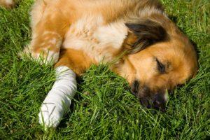 Câine întins pe iarbă cu o lăbuță rănită
