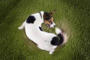 Acest câine încearcă disperat să își muște coada