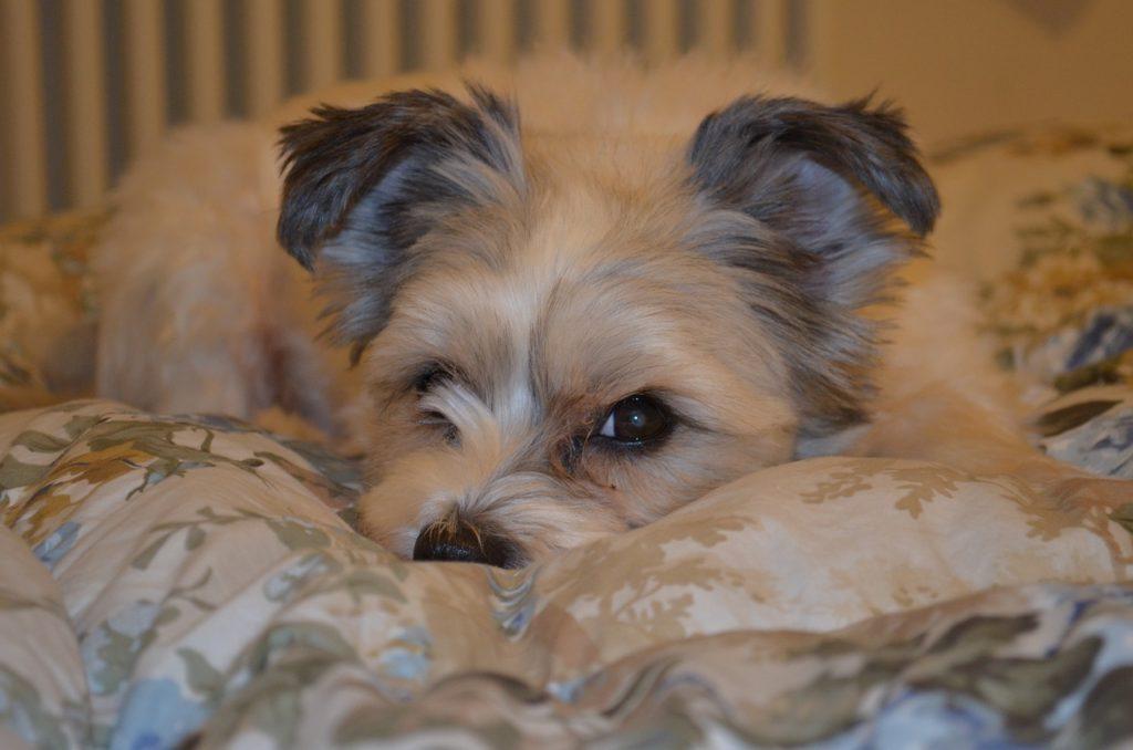 Câine odihnindu-se în patul stăpânului
