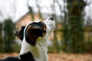Câine ce suferă de astm privind spre cer