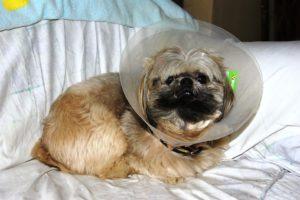 Câine Shih Tzu după operația de eliminare al unui chist