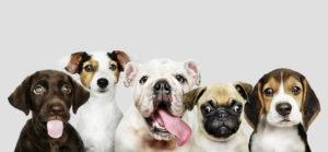 Pui de câini de diferite rase