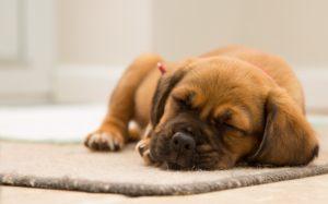 Cățeluș doarme liniștit cu capul pe un preș