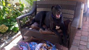 Bentley, un Dog german considerat cel mai mare câine din lume în 2015