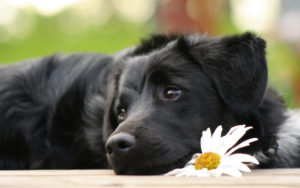 Câine odihnindu-și capul pe o floare, simbol al medicinei naturiste