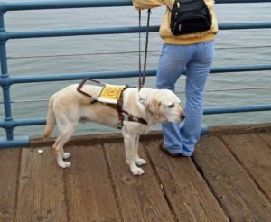 Labdrador Retriever folosit drept câine de asistență