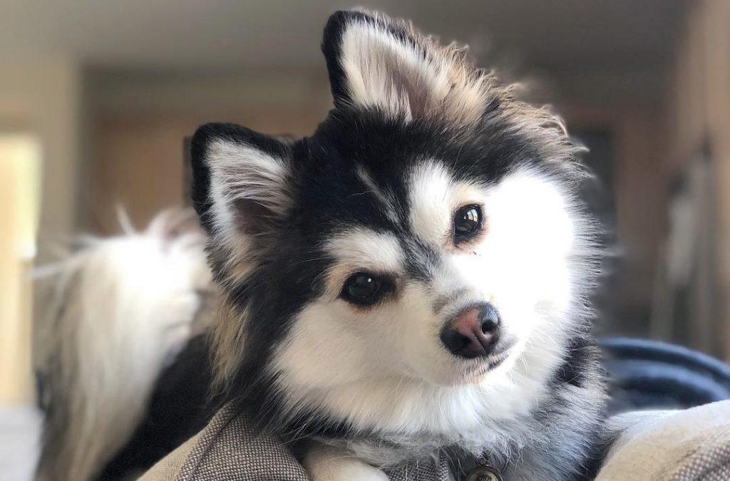 Rezultatul încrucișării dintre un Pomeranian și un Husky este considerat un câine de designer
