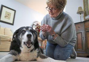 Stăpână pregătită să îi administreze câinelui ei în vârstă o doză de ulei CBD
