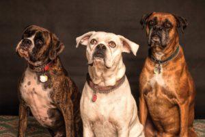 Trei câini boxeri așteaptă cuminți răbdare