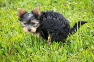 Yorkshire Terrier se chinuie să iasă afară pe o pajiște înverzită