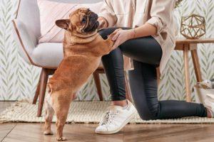 Bulldog Francez sare pe genunchii stăpânei sale