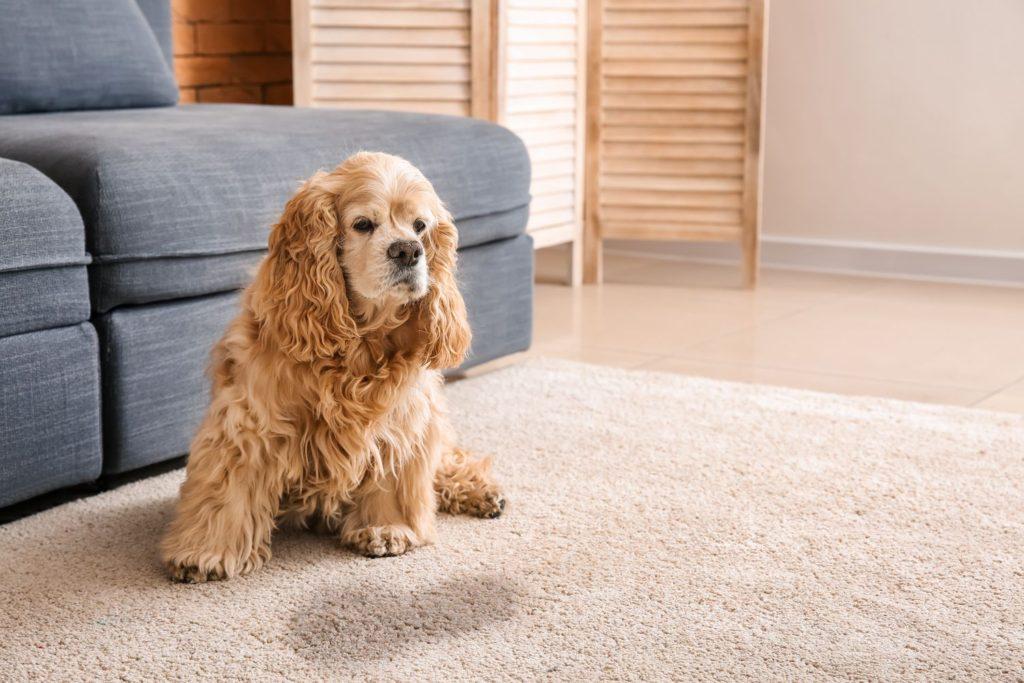 Acest câine a urinat pe covor