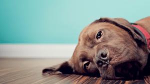 Câine afectat de probleme stomacale