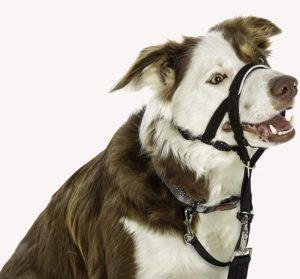 Acest câine poartă un ham cu căpăstru Halti