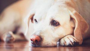 Câine labrador stă cu botul pe labe, privind trist