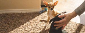 Chihuahua își privește gelos stăpânul deoarece acesta mângâie un alt câine