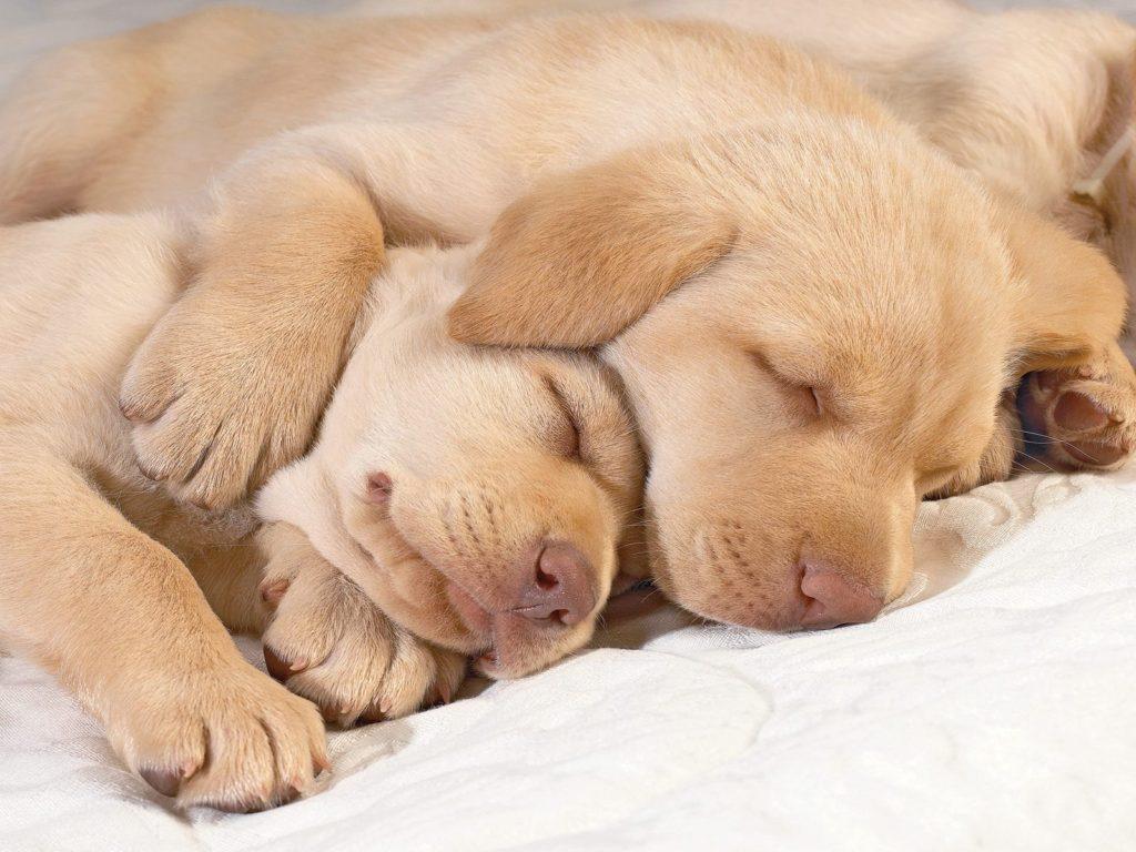 Doi pui adorabili de Labrador dormind împreună
