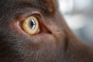 Ochiul unui câine privit de aproape