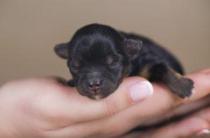 Pui de câine abia născut