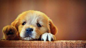 Pui de Golden Retriever trist din cauza separării față de mămă și frații săi