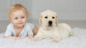 Pui de Labrador alături de un bebeluș
