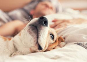 Acest câine este lăsat de stăpân să doarmă în pat alături de acesta