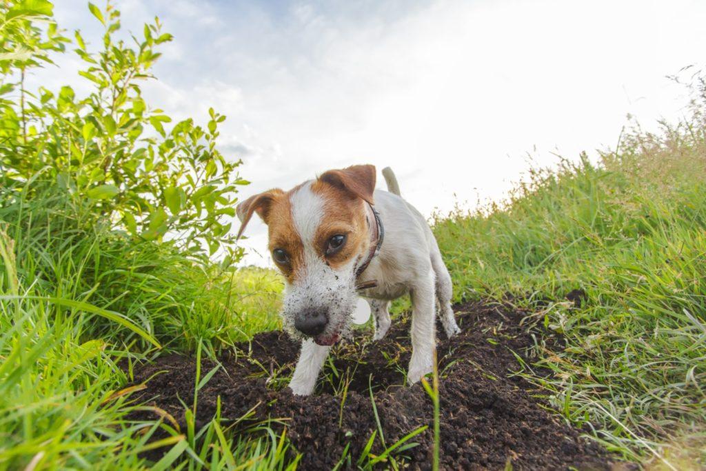 Terrier Jack Russell sapă în curte
