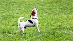 Jack Russell Terrier latră pe un câmp înverzit